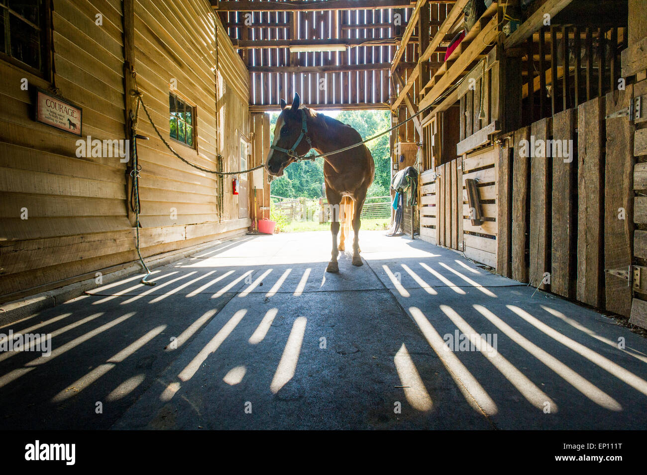 Horse in a stable showing shadows from the wood slats in  Huntingtown, Maryland, USA - Stock Image