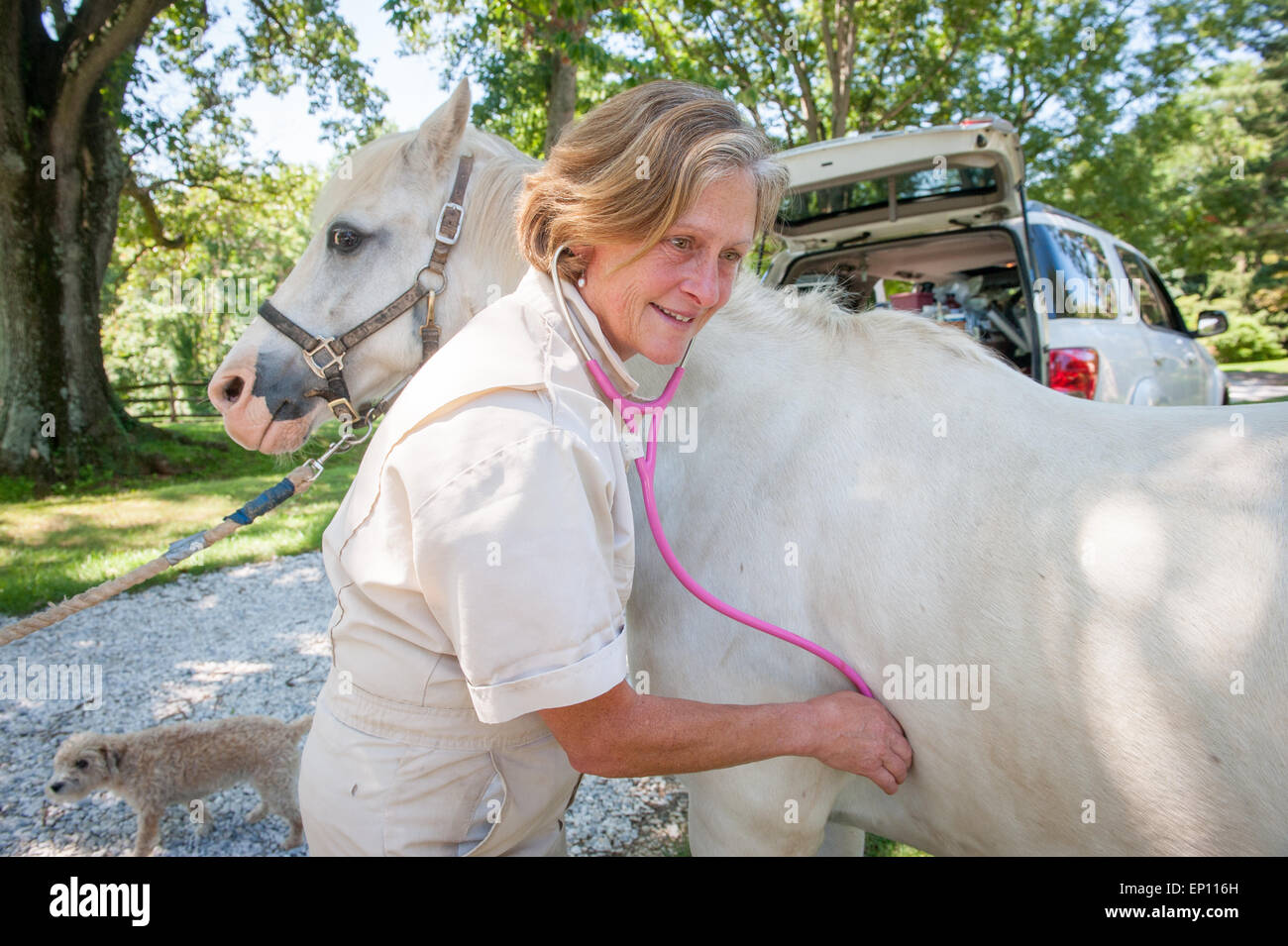 Equine vet using a stethoscope on a horse in Sparks, Maryland, USA - Stock Image