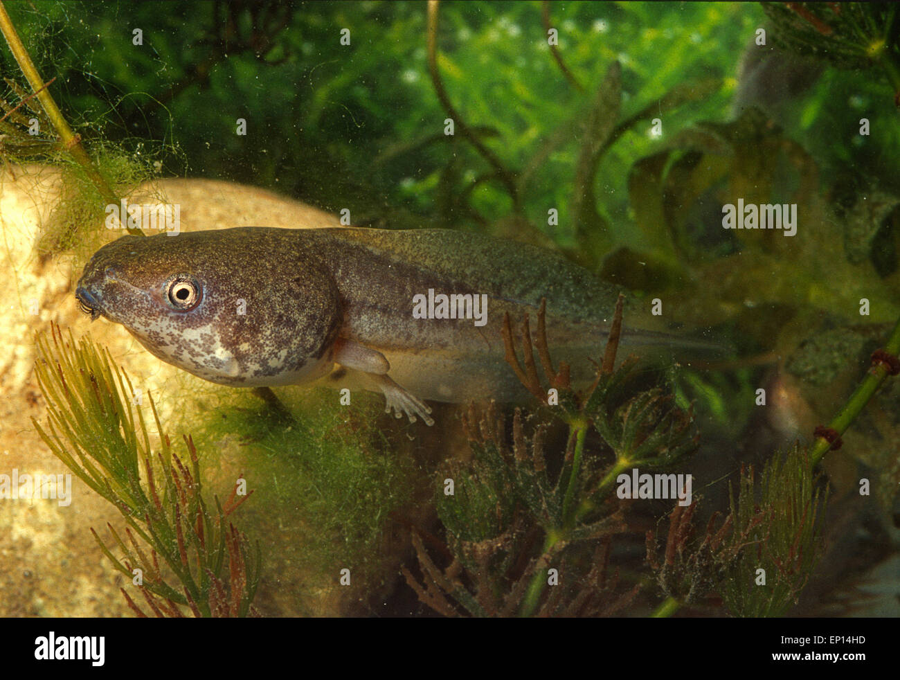 Tadpole of  Java Whipping Frog Rhacophorus leucomystax, Rhacophoridae, Asia - Stock Image