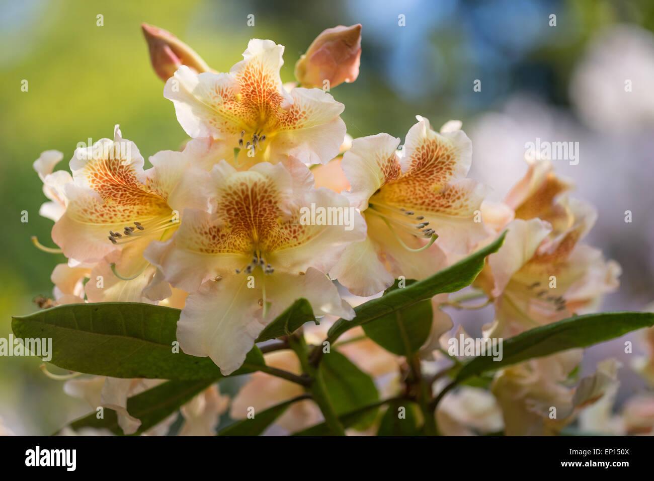 Rhododendron Dichroanthum Hybridum Bernstein yellow brown flowers Stock Photo