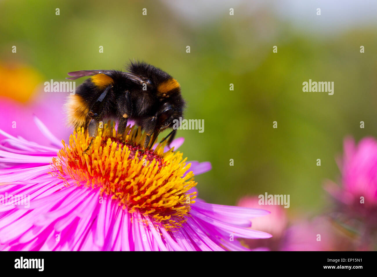 Buff-tailed Bumblebee (Bombus terrestris) new queen feeding on Michealmas Daisy (Aster sp.) flowers in garden, Powys, - Stock Image