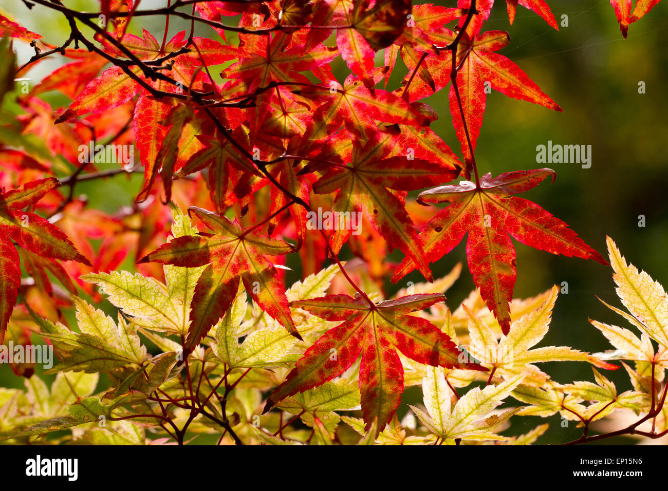 Acer Palmatum Stock Photos Acer Palmatum Stock Images Alamy