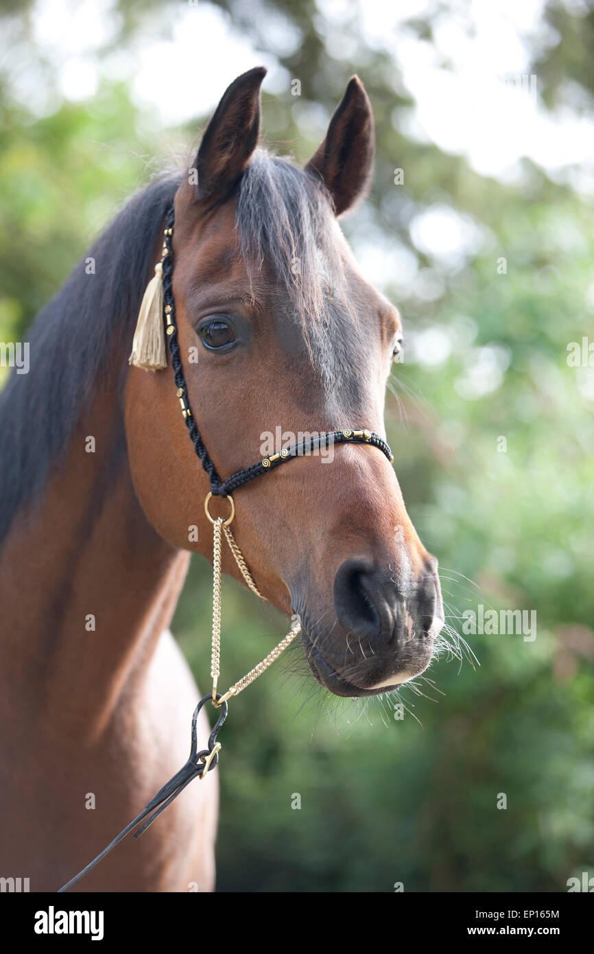 A portrait of a dark bay Polish Arabian horse - Stock Image