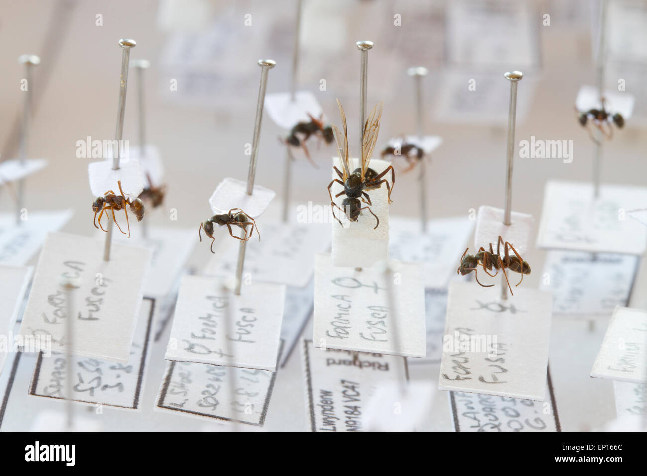 Negro Ant (Formica fusca) specimens in a reference collection of British ants. Powys, Wales. - Stock Image