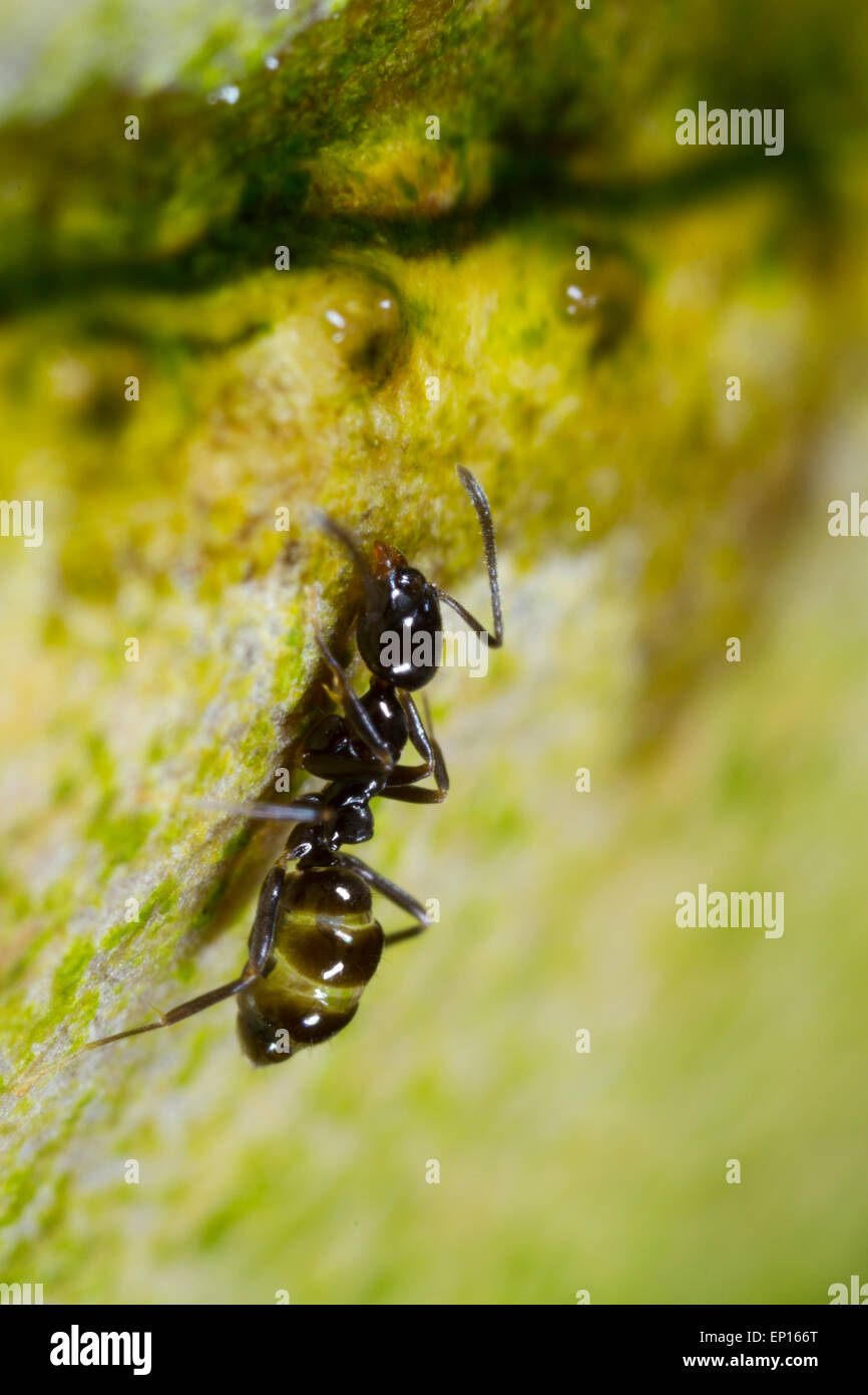 Ant Linepithema iniquum adult worker on a stem in a hothouse. A tropical tramp species originally from South America. - Stock Image