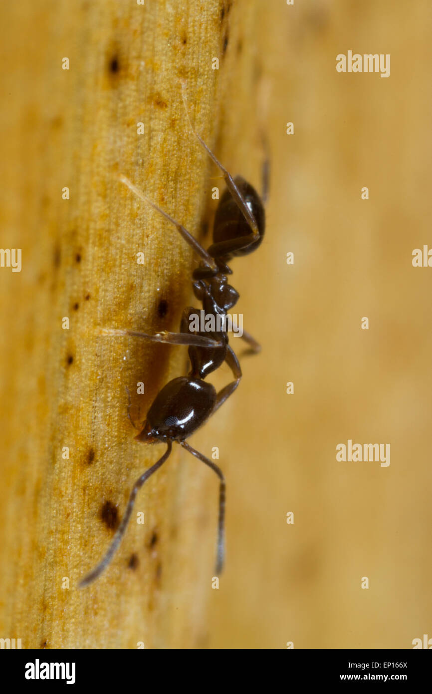 Ant Linepithema iniquum adult worker on a banana stem in a hothouse. A tropical tramp species originally from South - Stock Image