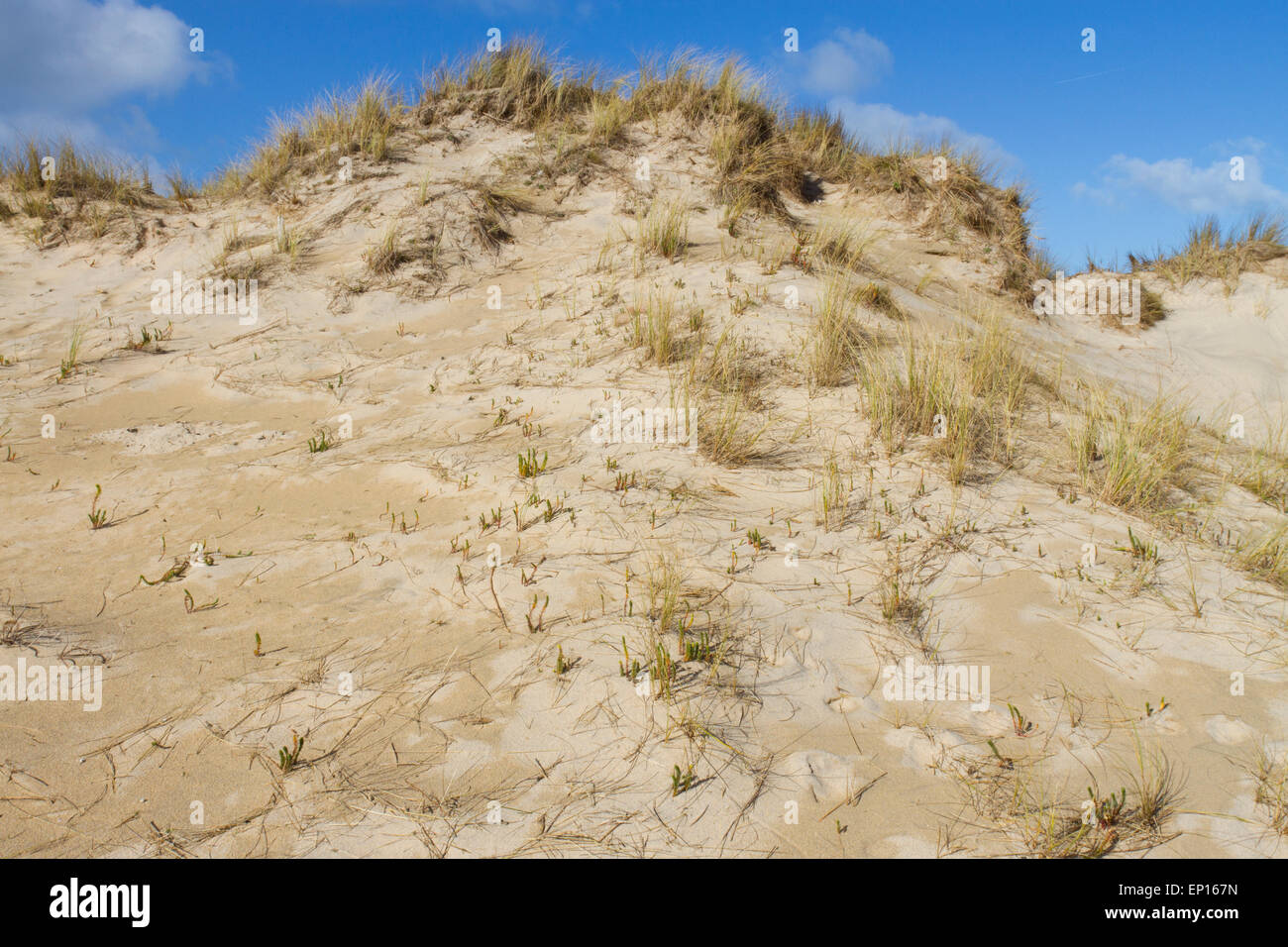 Sand dune habitat at Upton Towans National Nature Reserve, St. Ives Bay, Cornwall, England. March. - Stock Image