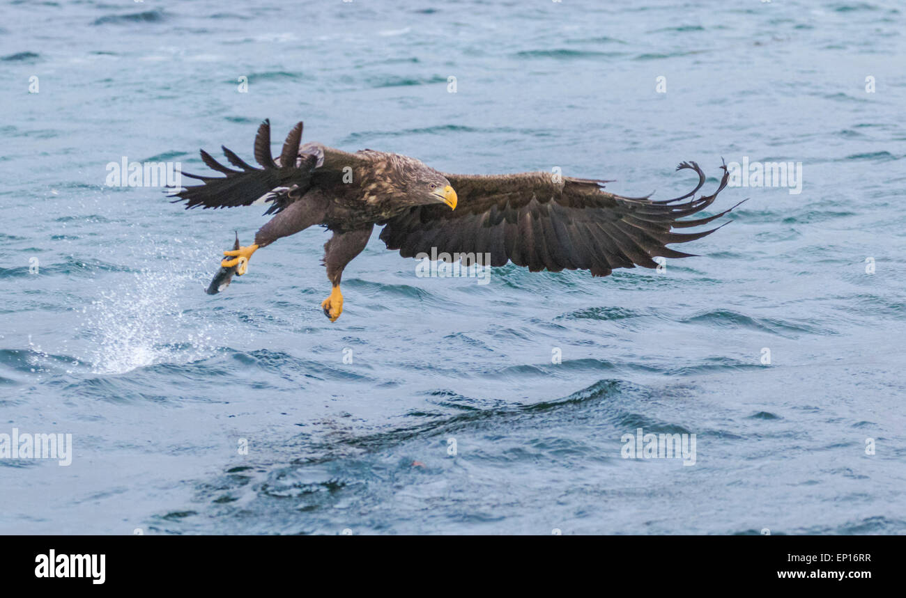 White-tailed eagle, Haliaeetus albicilla, grabbing fish, wings are spread, Andenes, Norway - Stock Image