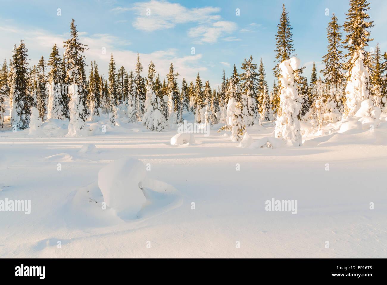 Snowy spruces and blue sky, Gällivare, Swedish lapland, Sweden - Stock Image