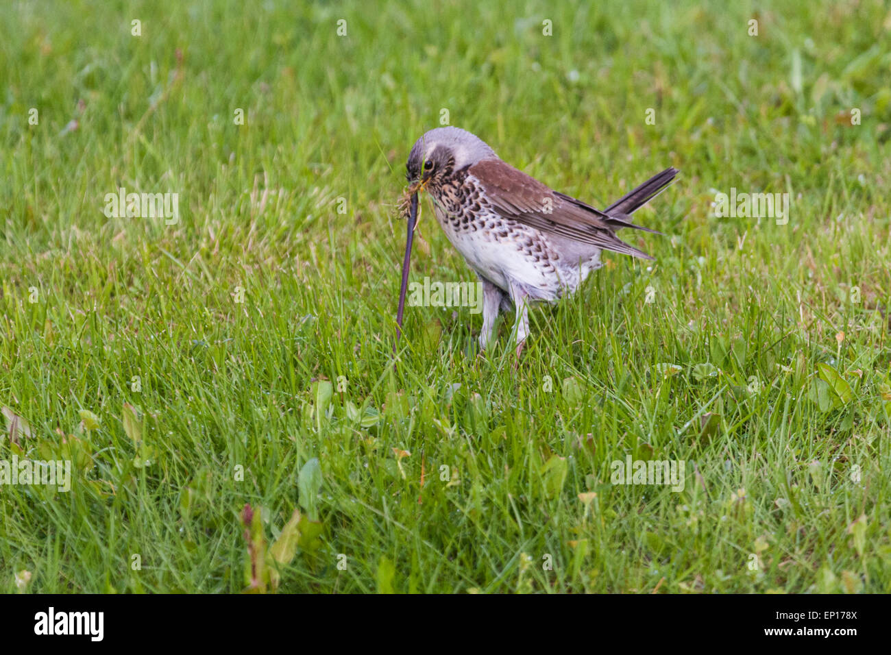 Fieldfare pulling worm from lawn, Gällivare, Sweden - Stock Image