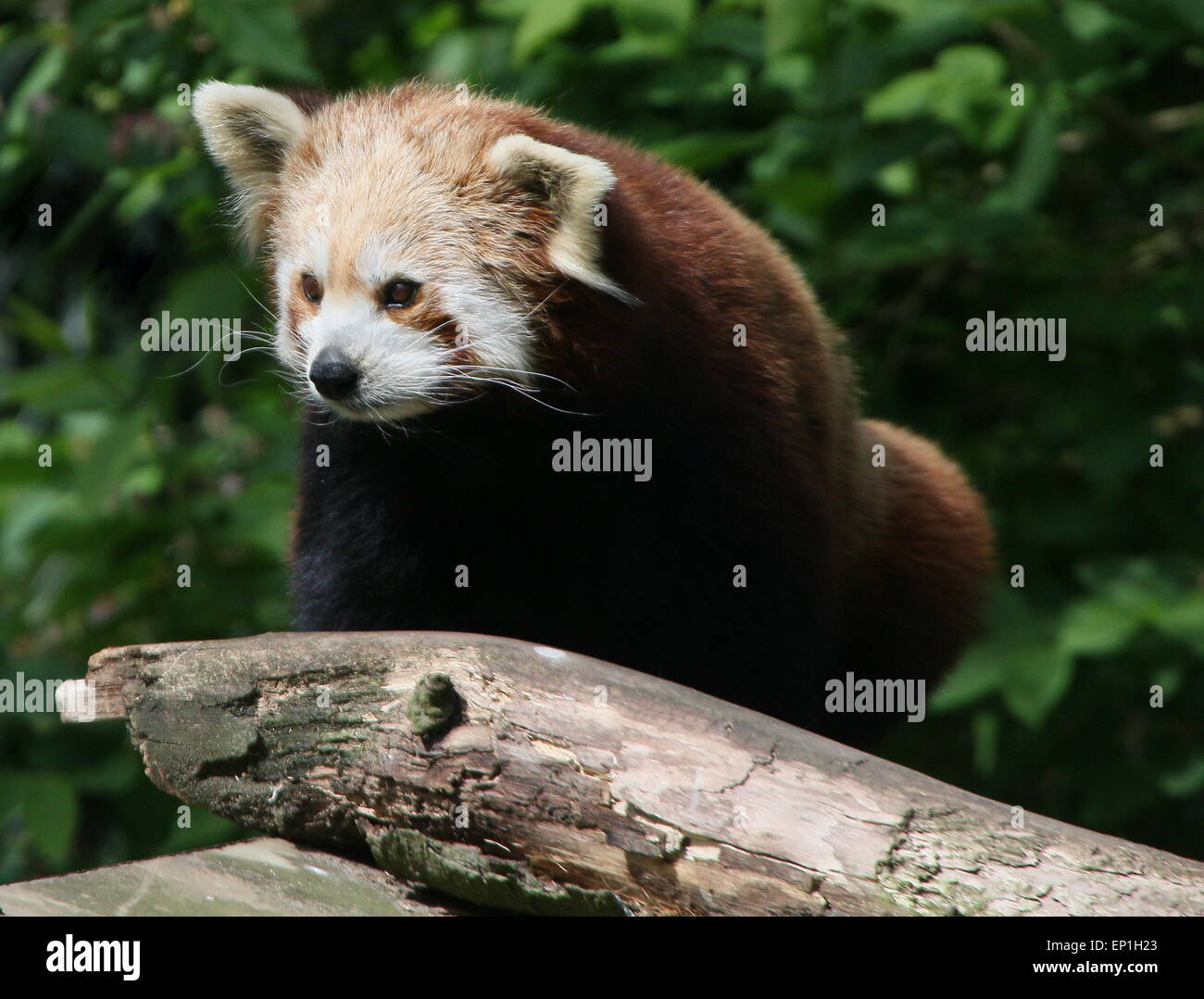 Asian Red Panda (Ailurus fulgens) Stock Photo