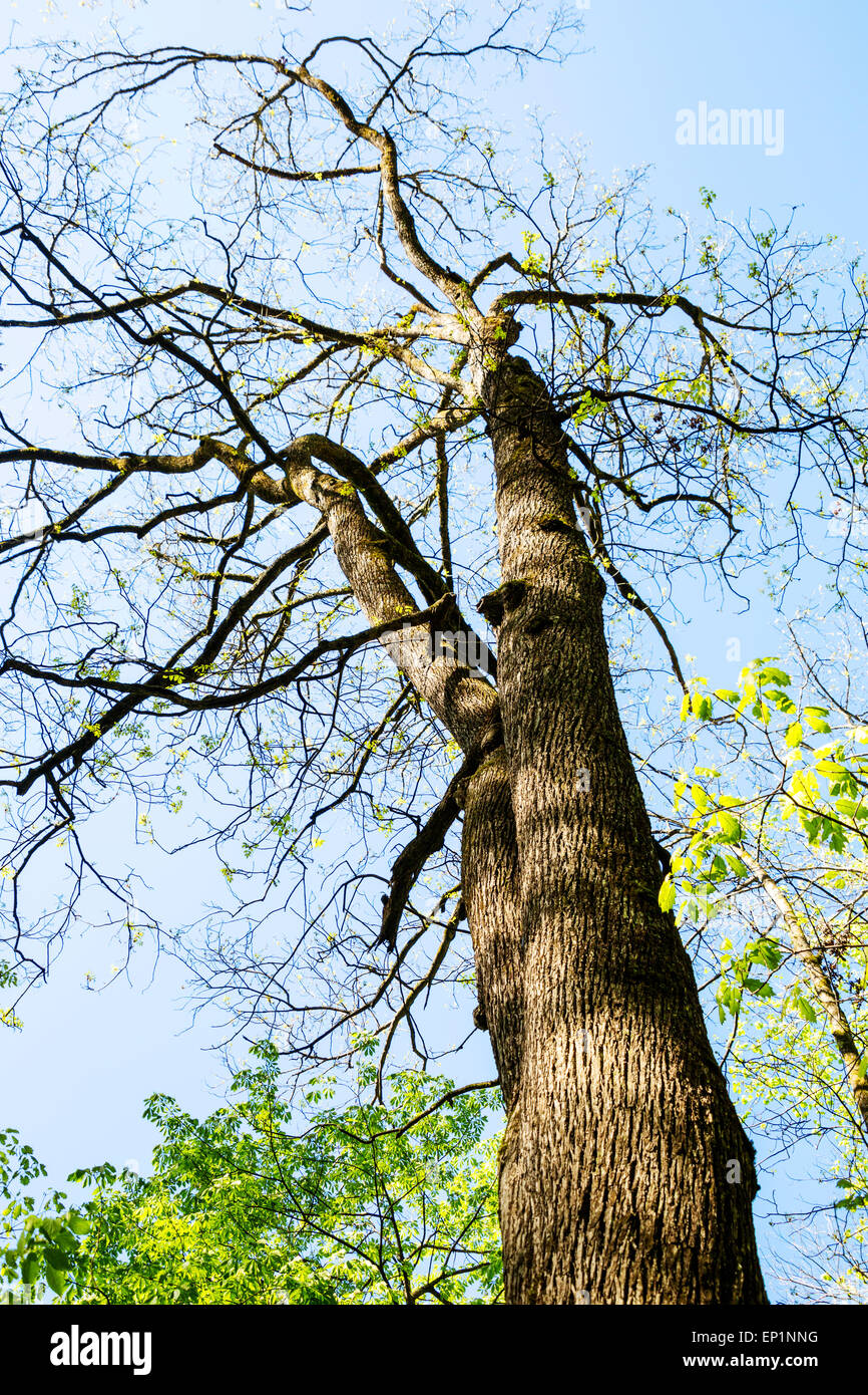 Hickory Tree, Smith Creek, Anna Ruby Falls, Chattahoochee-Oconee National Forest, Georgia, USA - Stock Image