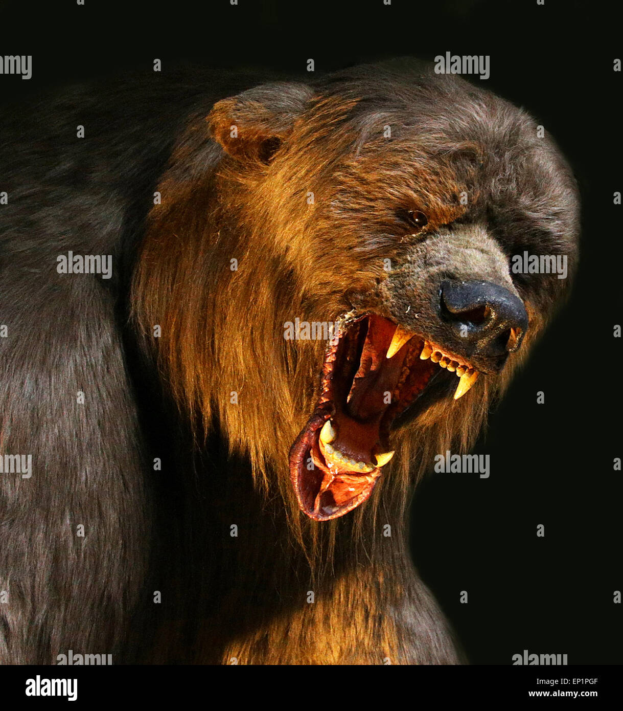 Grizzly Bear Angry Stock Photos Amp Grizzly Bear Angry Stock