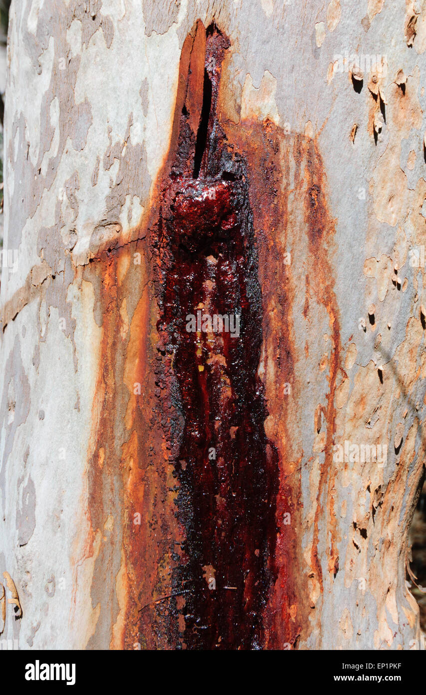 Bleeding Gumtree, Fraser Island, Queensland, QLD, Australia Stock Photo