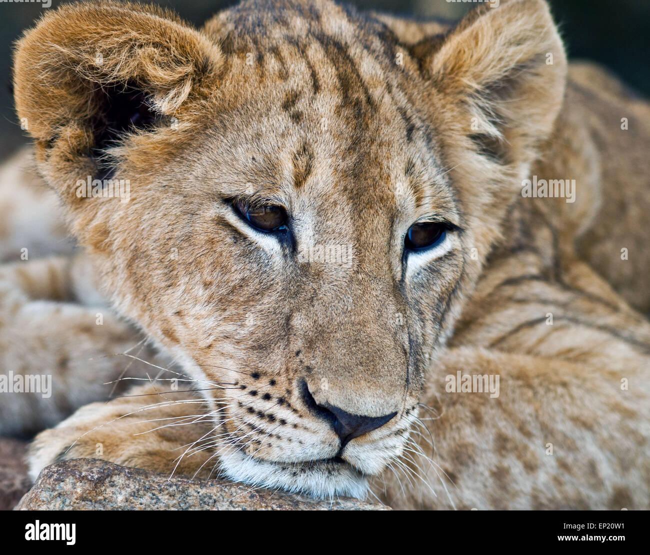 Portrait of a Lion cub, South Africa - Stock Image
