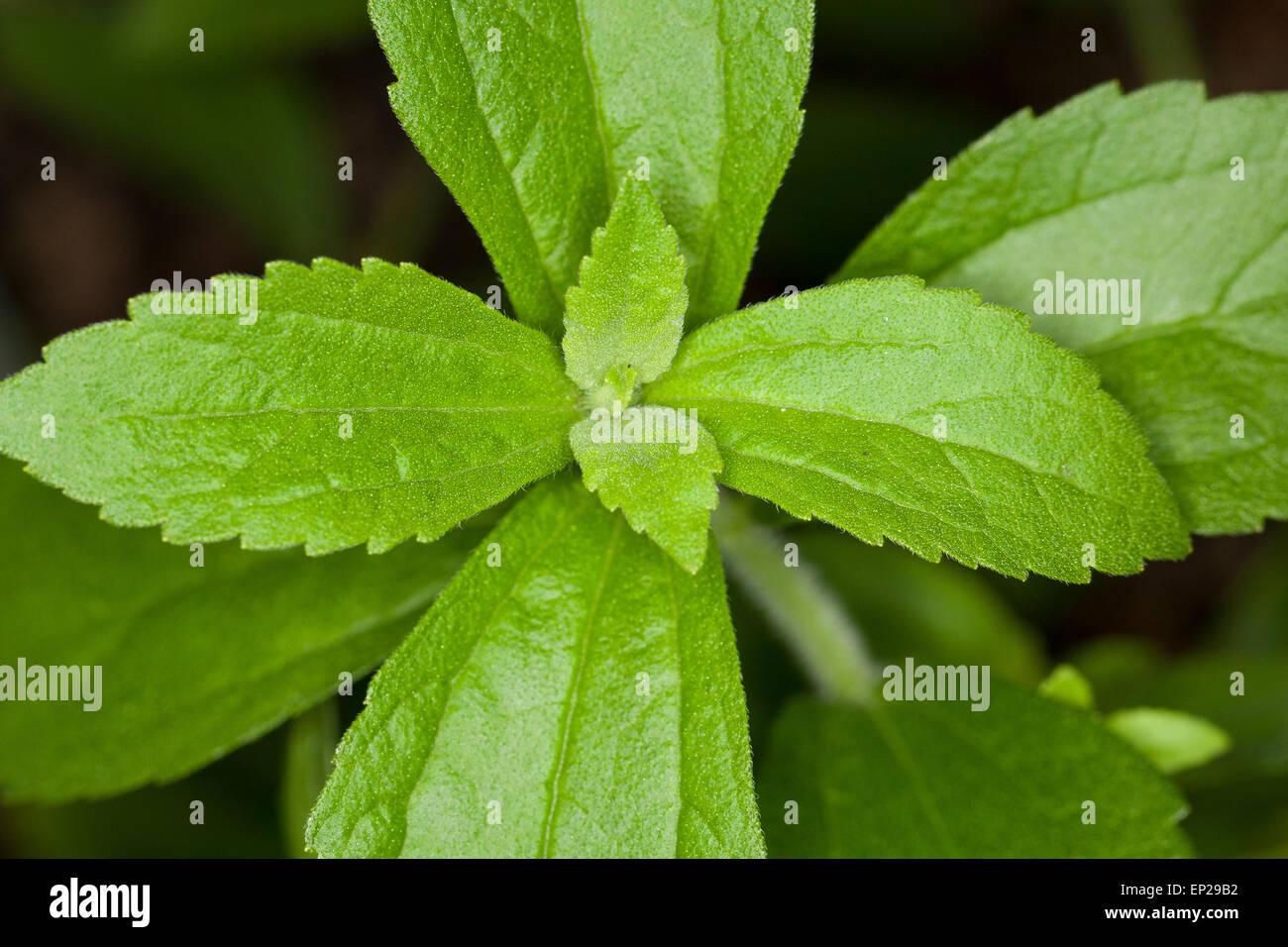 Sweet Leaf of Paraguay, Stevia, Stevie, Stewia, Süßkraut, Zuckerblatt, Stevia-Pflanze, Stevia rebaudiana, - Stock Image