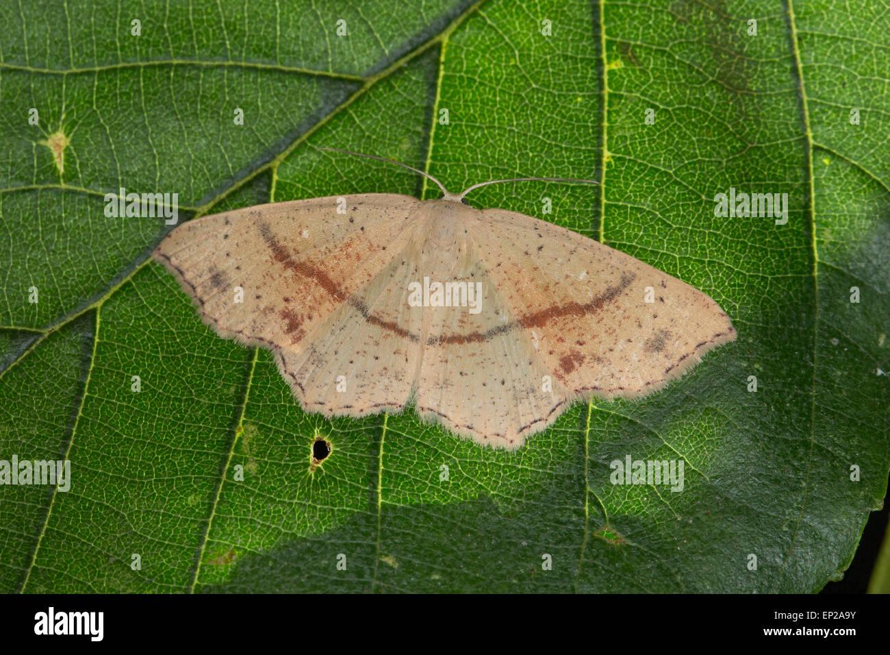 Maiden's Blush, Gepunkteter Eichen-Gürtelpuppenspanner, Grauroter Gürtelpuppenspanner, Cyclophora punctaria, Cosymbia Stock Photo