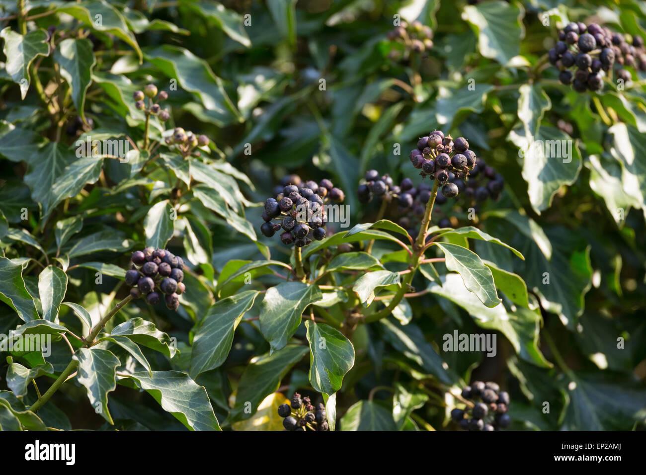 Common Ivy English Evy Fruit Efeu Frucht Früchte Beere Beeren