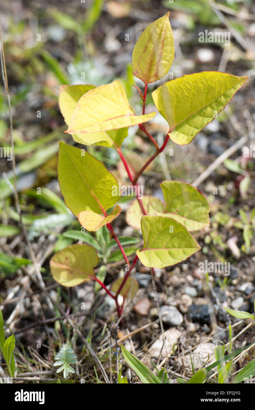 Fallopia japonica, commonly known as Japanese knotweed, is a large, herbaceous perennial plant of the family Polygonaceae. - Stock Image