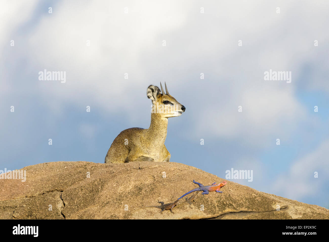 Klipspringer (Oreotragus oreotragus) lying down on rock with Male Red-headed Rock Agama (Agama agama) in front, - Stock Image