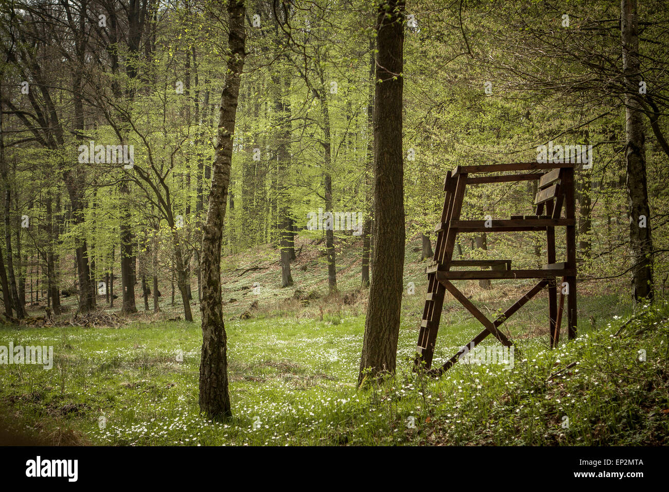 Germany, Brandenburg, Flaeming Heath, wood anemones growing in a forest - Stock Image