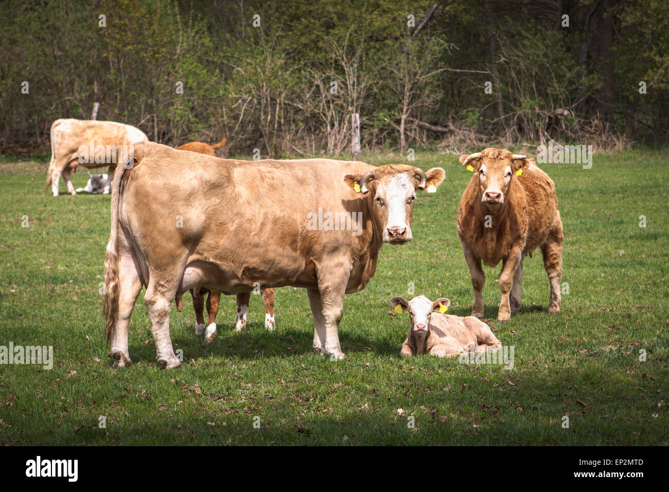 Germany, cows and calves on a meadow - Stock Image