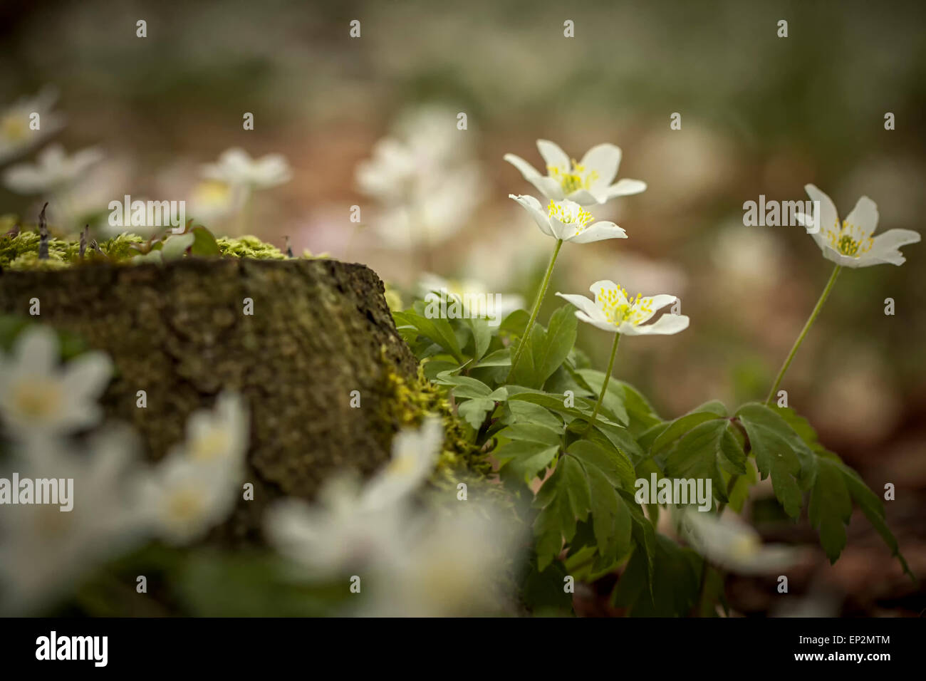 Germany, wood anemones growing in a forest - Stock Image