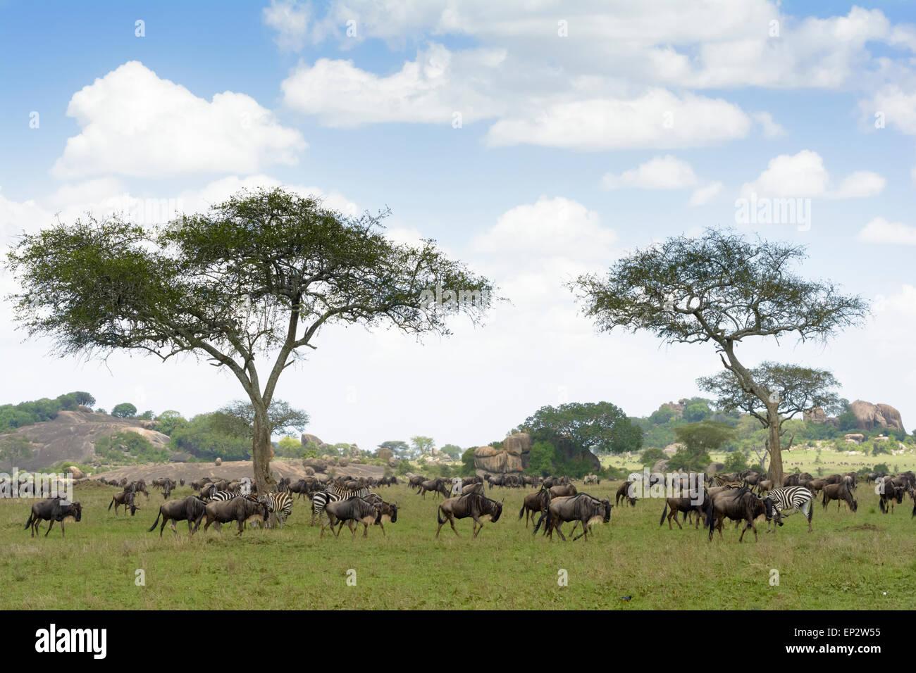 Wildebeest (Connochaetes taurinus) and Zebra (Equus quagga) herds during the migration, koppie and acacia tree, - Stock Image