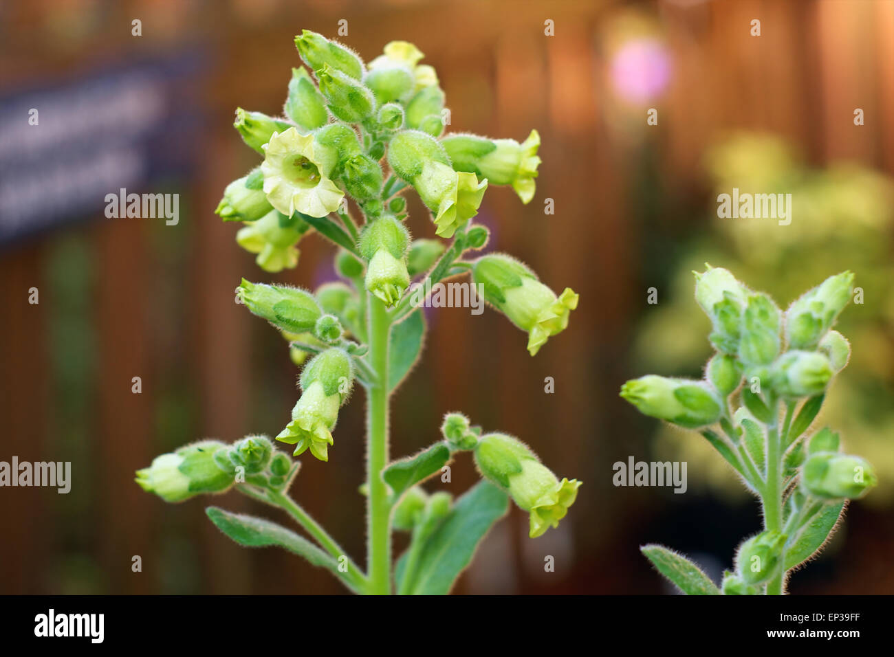 Clusters of small yellow flowers in bloom on nicotiana rustica or clusters of small yellow flowers in bloom on nicotiana rustica or sacred hopi tobacco plant mightylinksfo