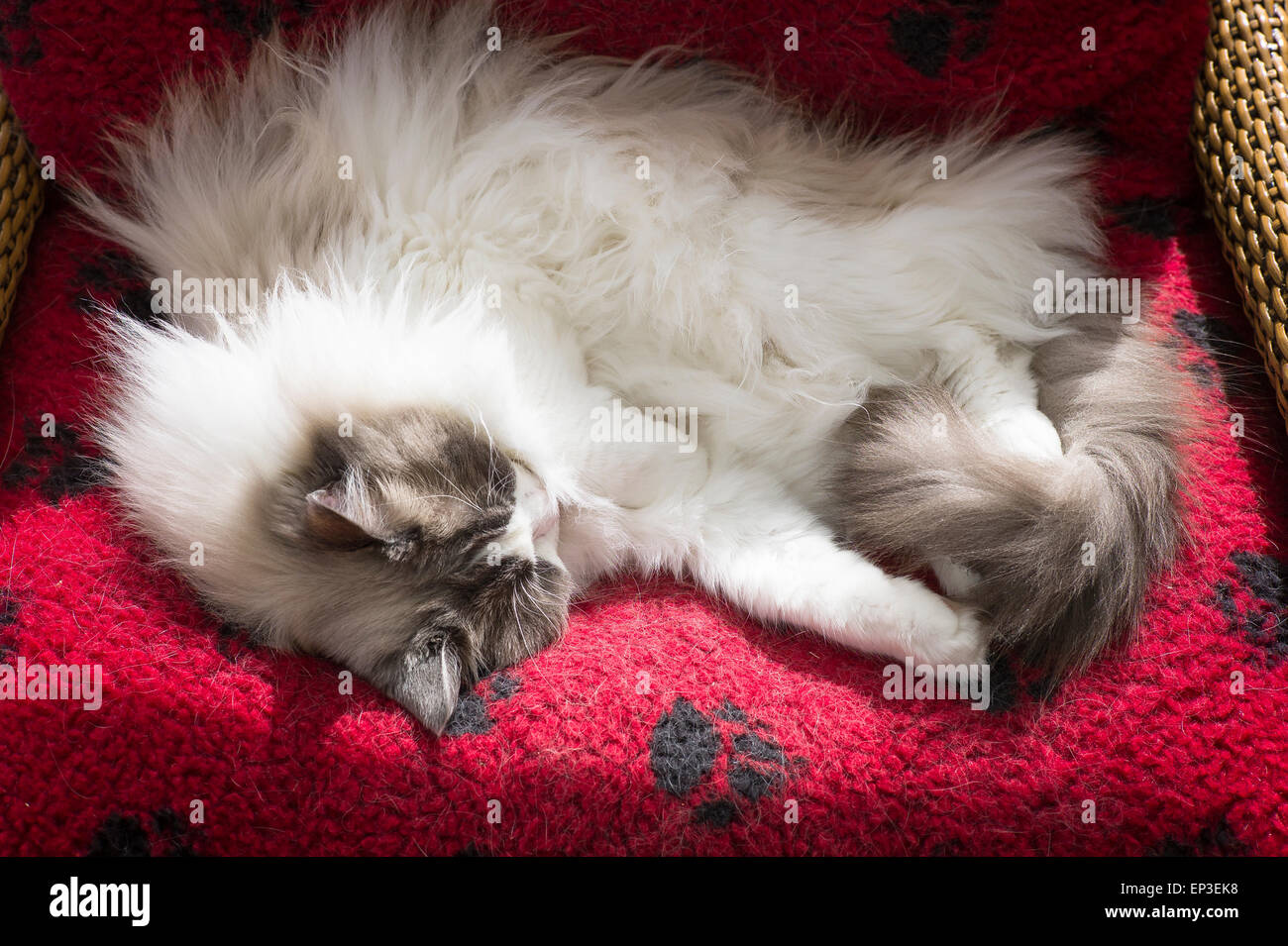 Ragdoll male cat asleep in his bed - Stock Image