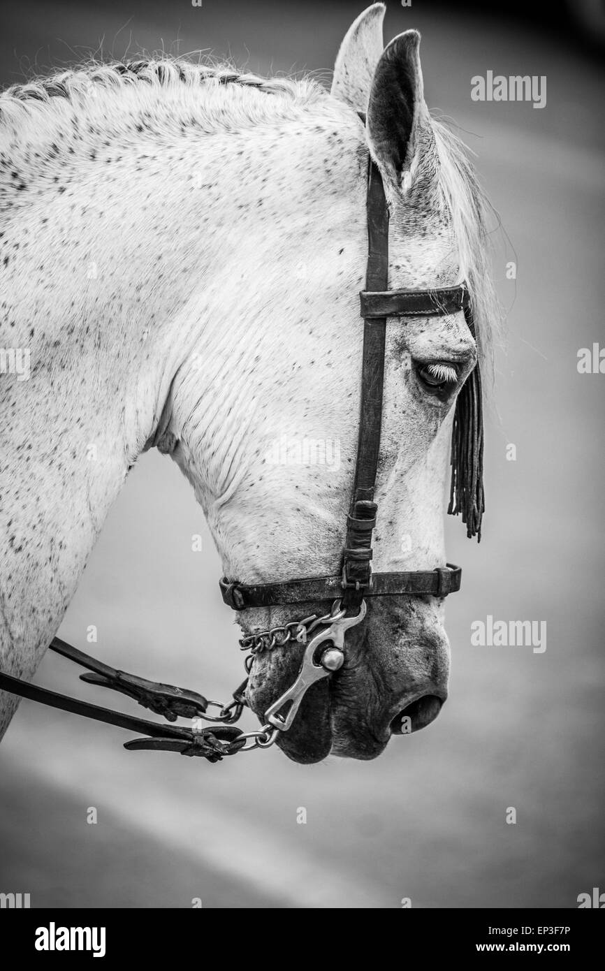Horse head on black and white - Stock Image