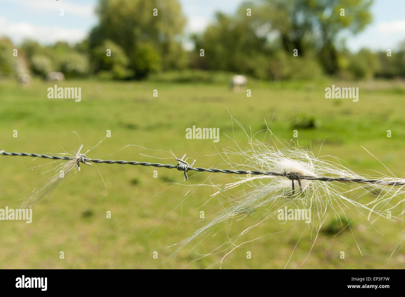 A deterrent sharp barbed wire fence on paddock field with trapped caught course  horse and pony mane hairs - Stock Image