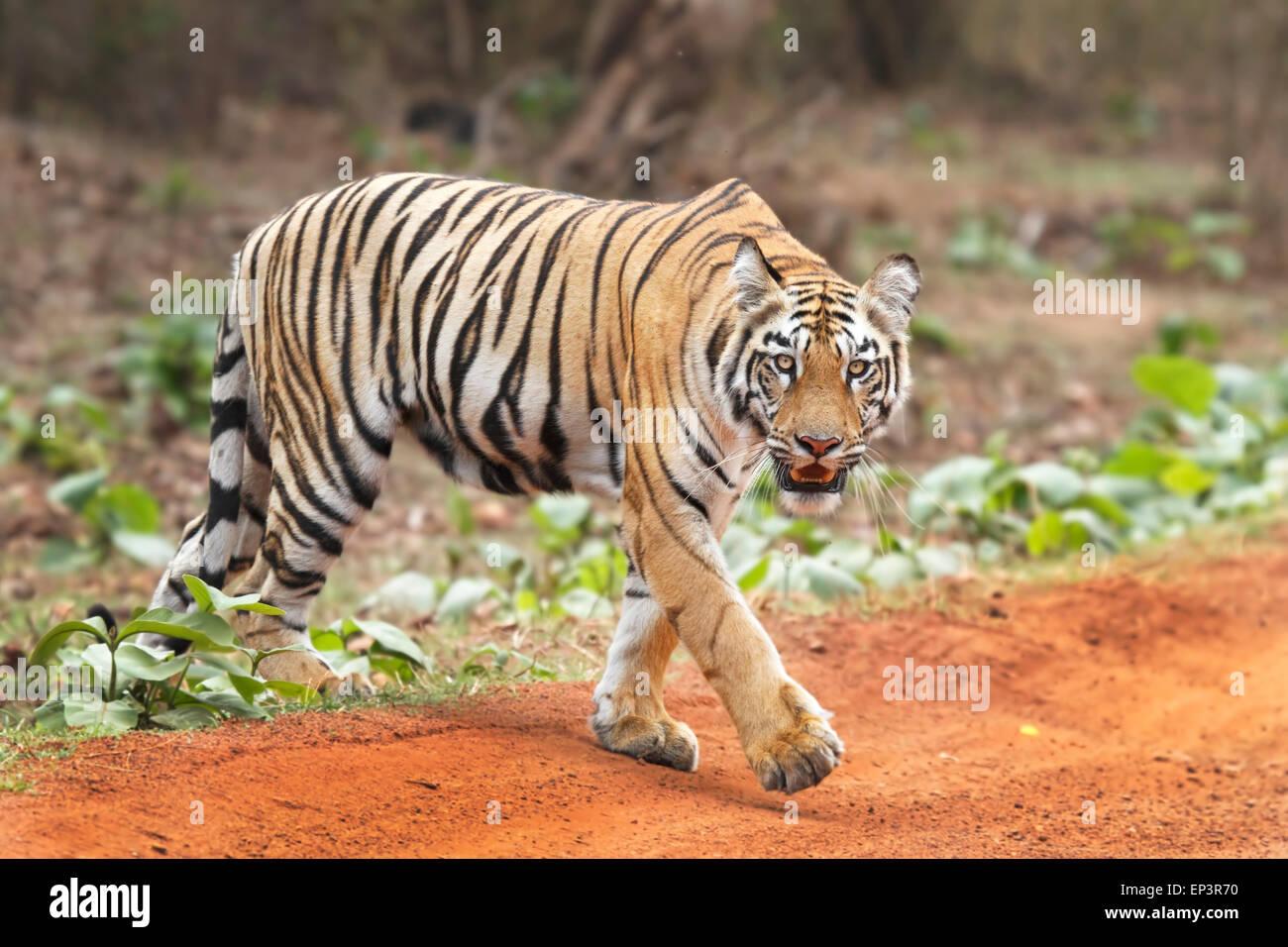 Royal Bengal Tiger or Panthera Tigris or Indian Tiger crossing road at Tadoba National Park, Maharashtra, India - Stock Image