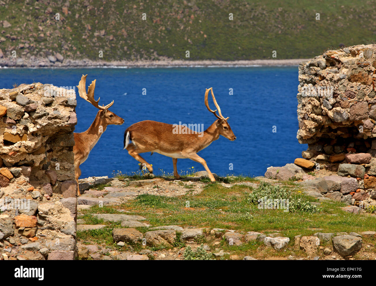 Deer in the castle of Myrina town, Lemnos (Limnos) island, North Aegean, Greece - Stock Image