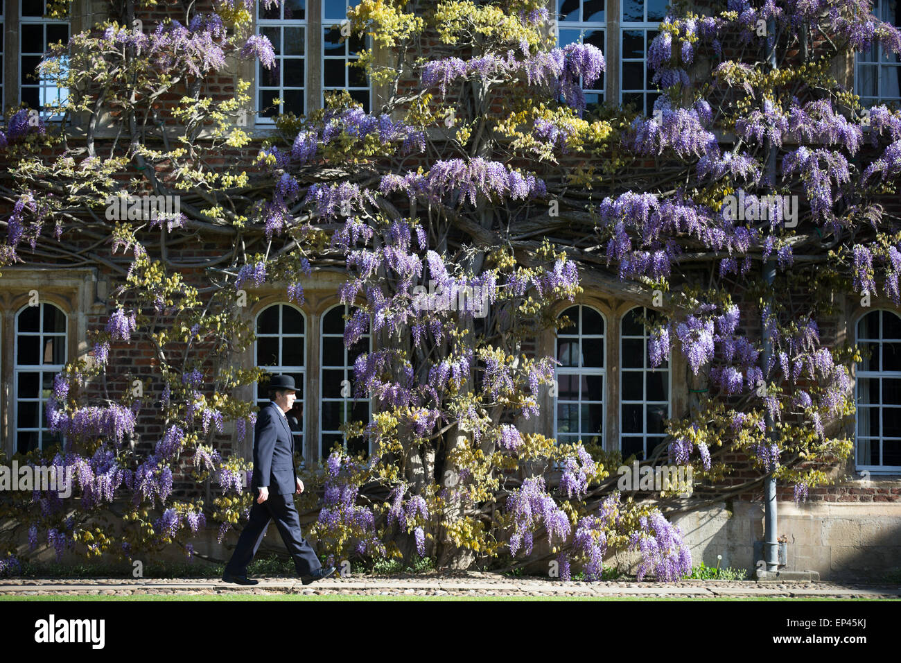 A porter at Jesus College Cambridge walking past the wall of wisteria in the First Court - Stock Image