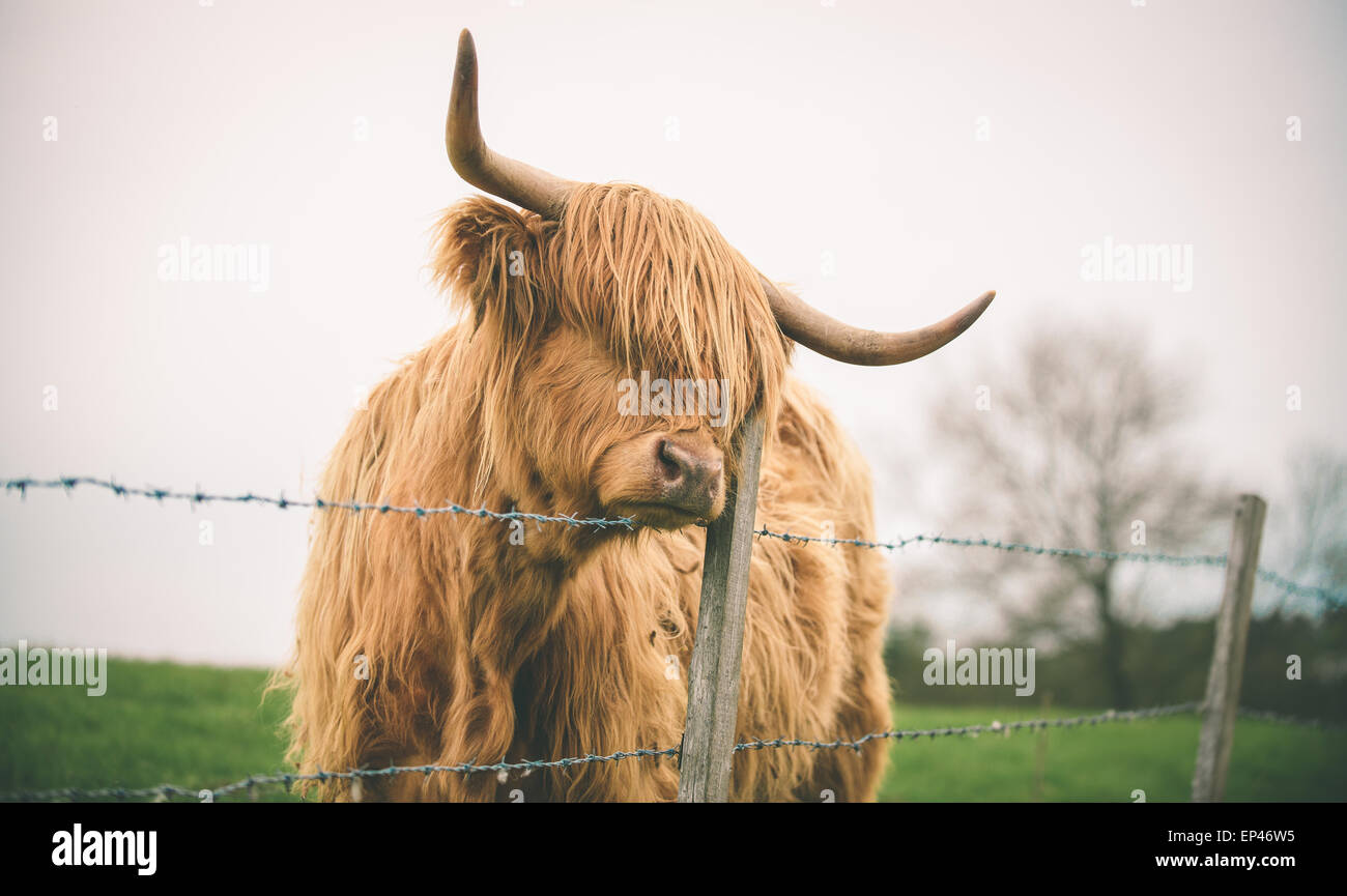 A sad and lonely Highland cow peers over a barbed wire fence. Stock Photo