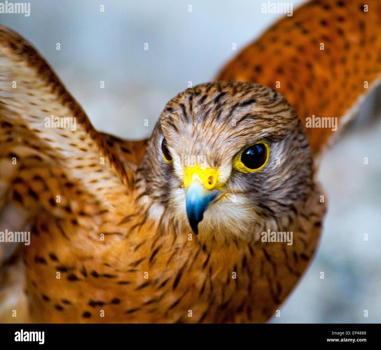 Rock Kestrel spreading it's wings, South Africa - Stock Image