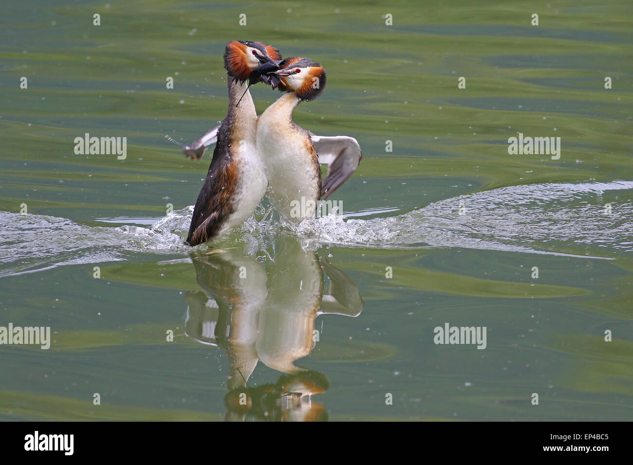 Great crested grebes mating dance - Stock Image