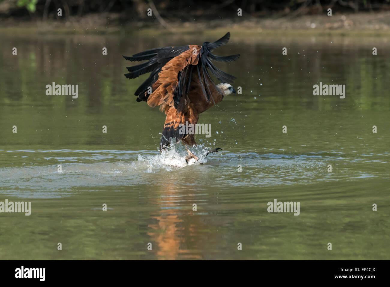 Black collared hawk (Busarellus nigricollis) grabbing a fish, Pixaim River, Pantanal, Brazil - Stock Image