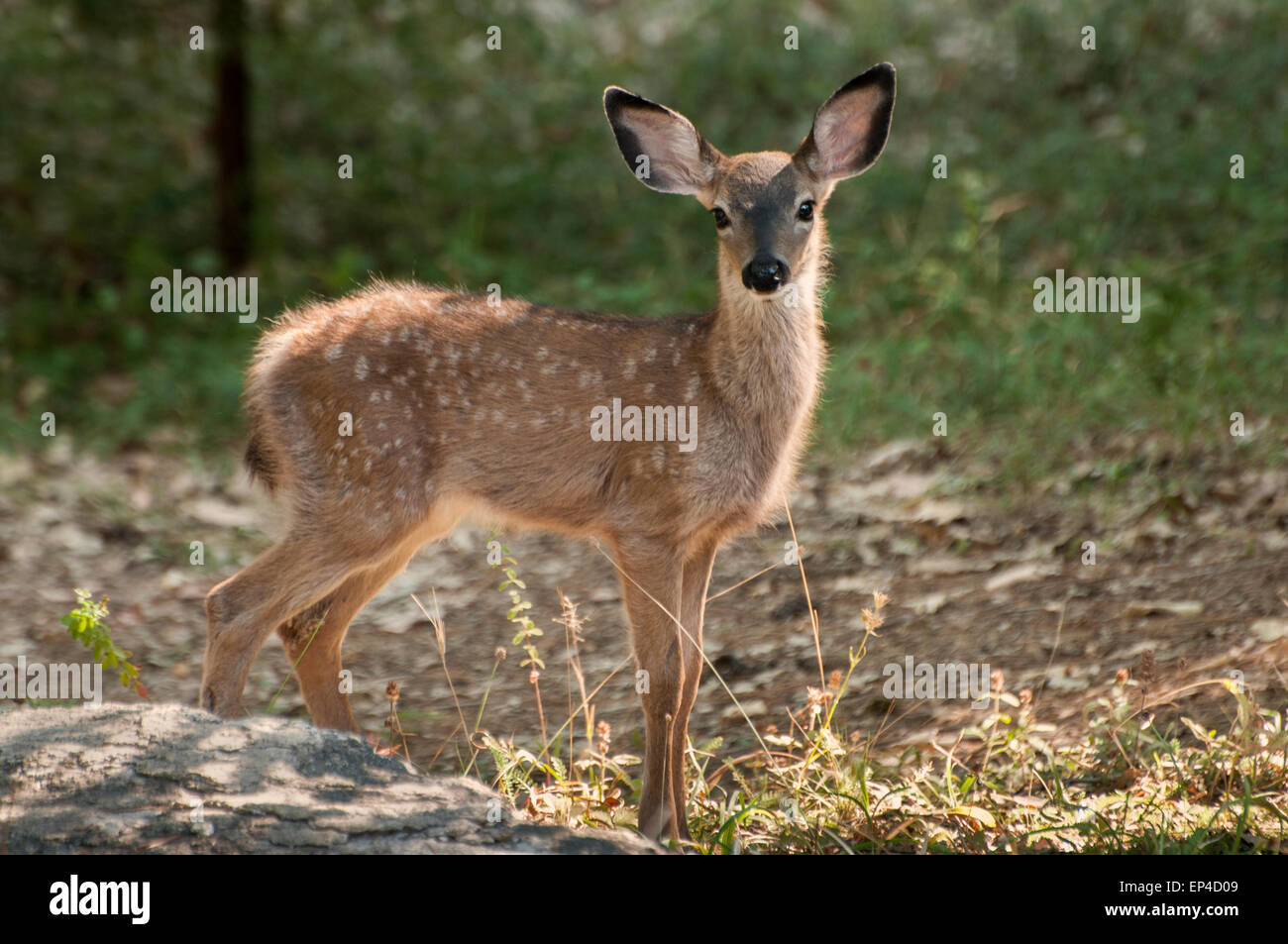 A young Mule Deer (Odocoileus hemionus) fawn, the Sierra foothills of Northern California - Stock Image