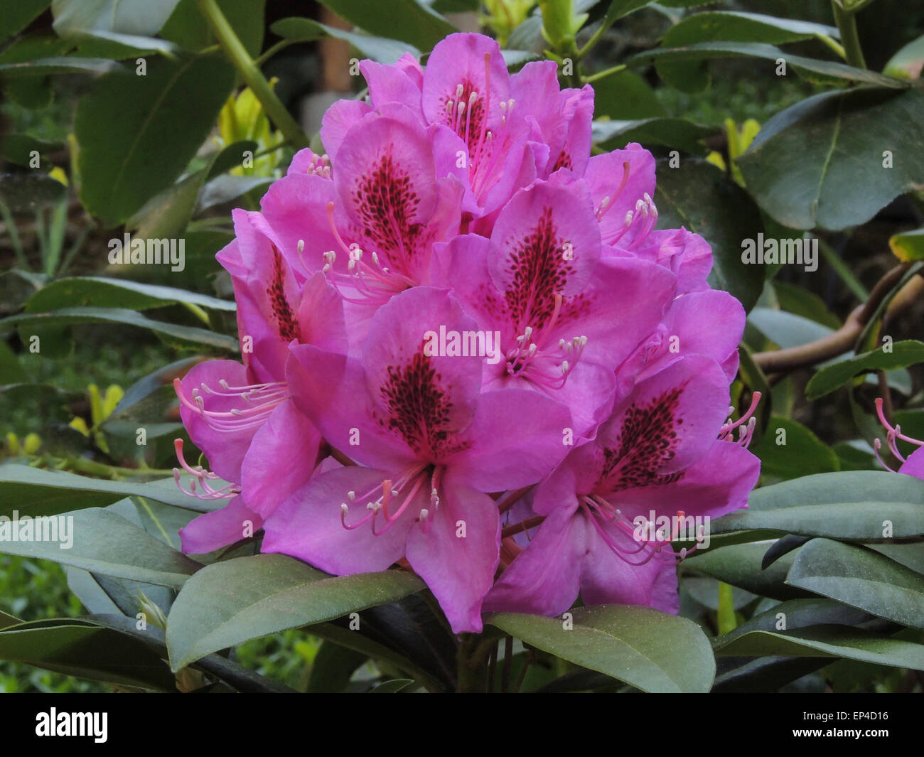 The early spring bloom of an evergreen Rhododendron, Sierra foothills of Northern California.. - Stock Image