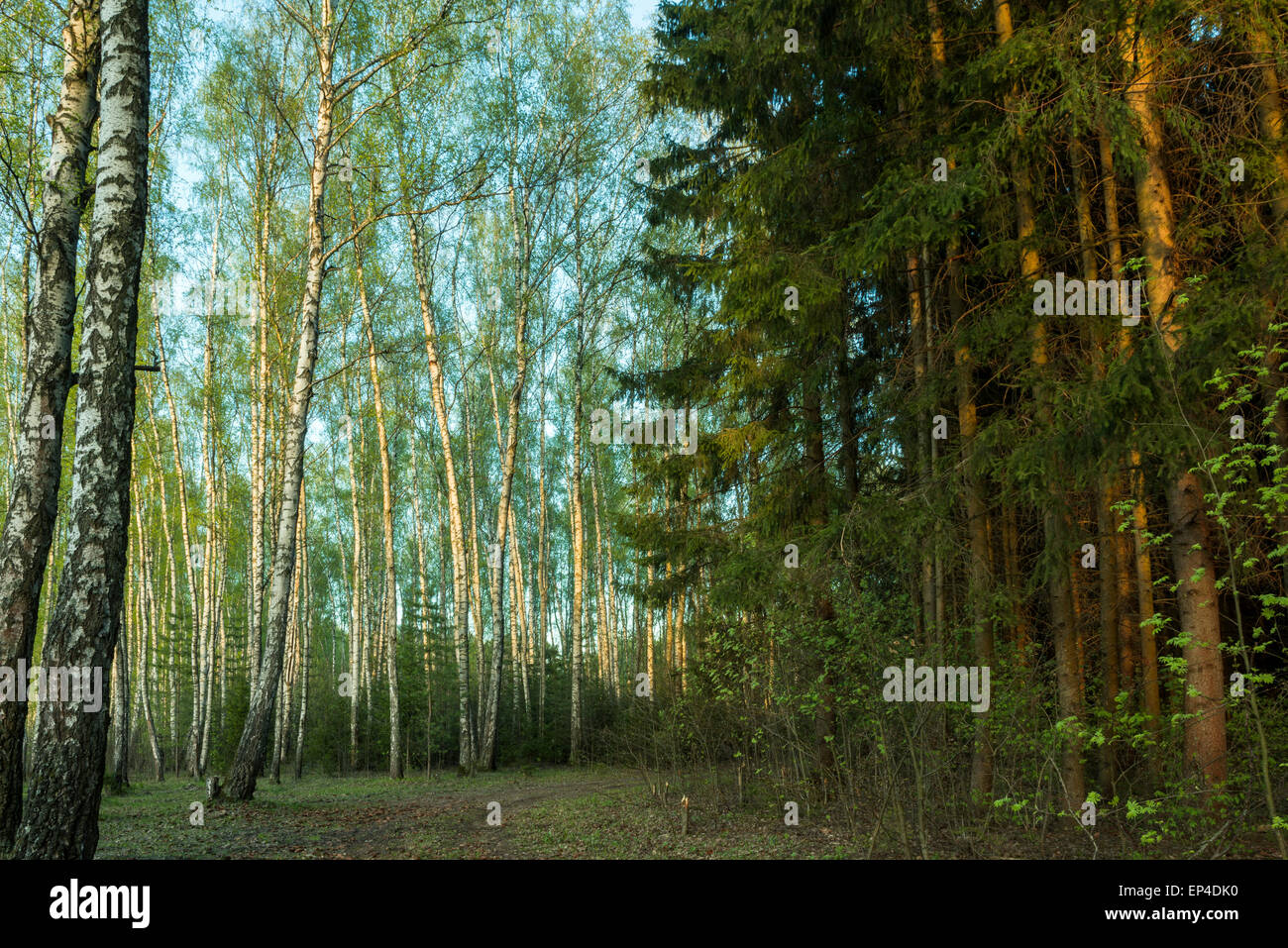 forest road goes between light birch and dark firs - Stock Image