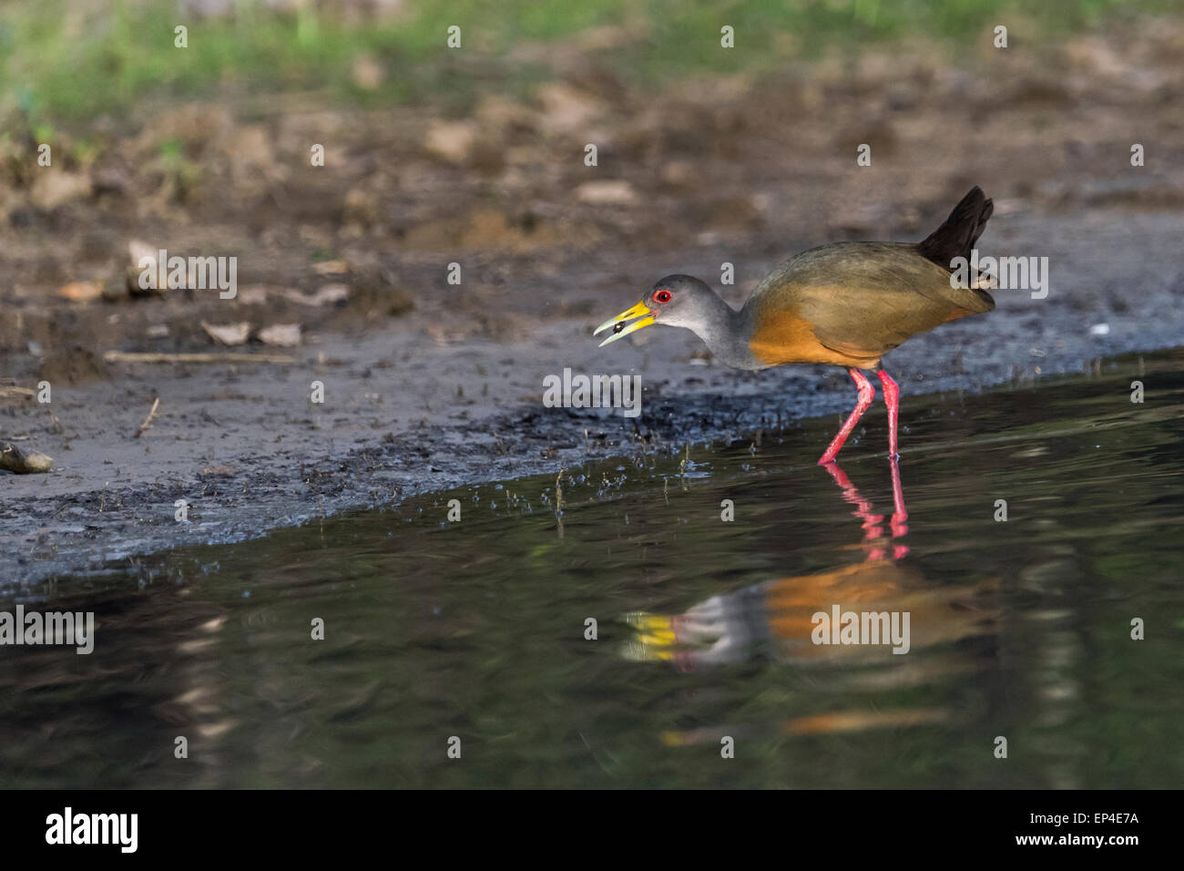 Grey-necked wood rail (Aramides cajeneus) catches a mollusk, Pixaim River, Pantanal, Brazil - Stock Image