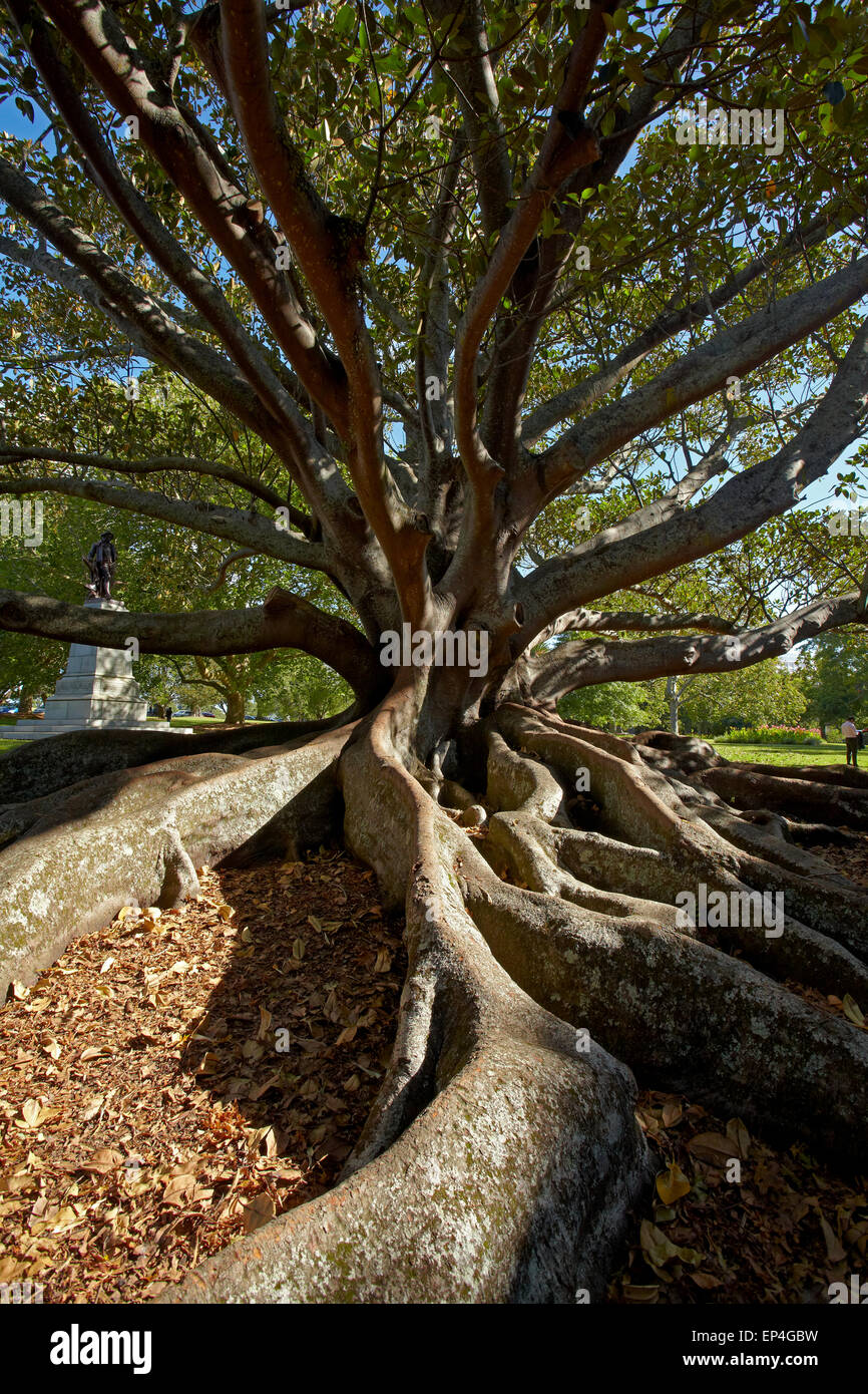 Moreton Fig Tree (Ficus Macrophylla), Auckland Domain, Auckland, North Island, New Zealand - Stock Image