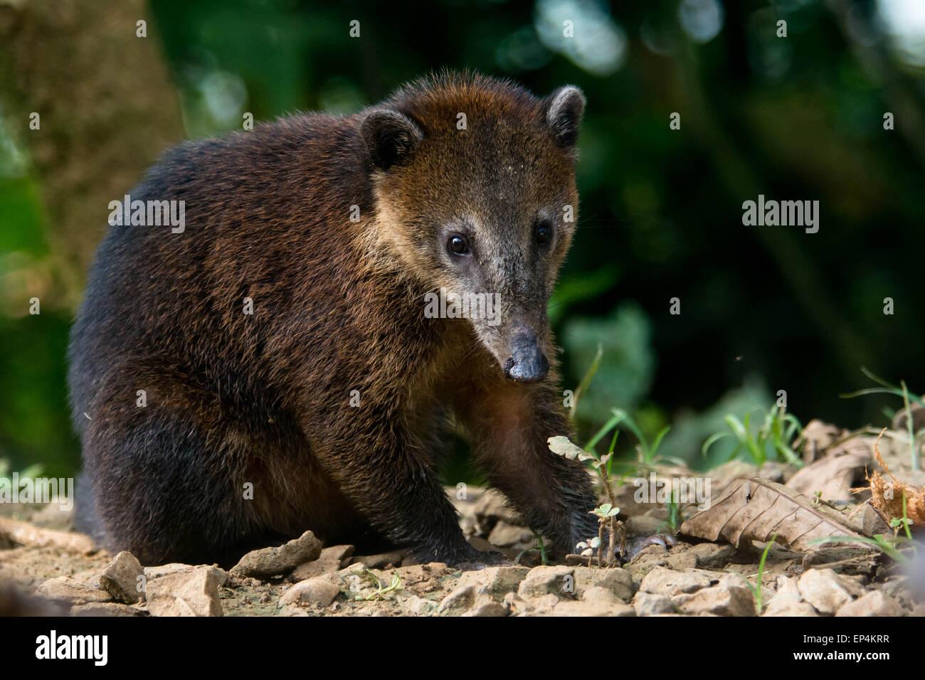 A South American Coati (Nasua nasua) looks curiously at the photographer in Buenaventura Reserve in southern Ecuador. - Stock Image