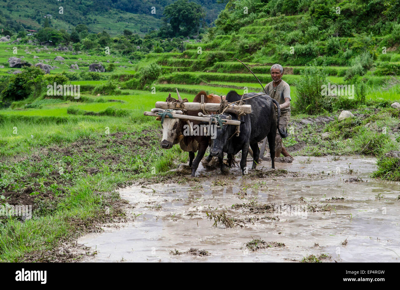 Ricefarmer with oxes in Bhutan - Stock Image