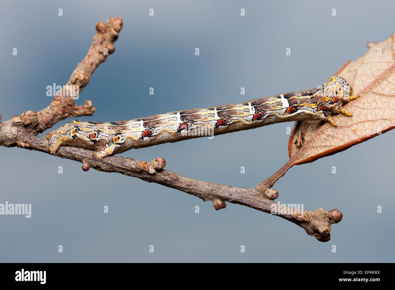 A Woolly Gray Moth (Lycia ypsilon) caterpillar (larva) mimics a twig - Stock Image