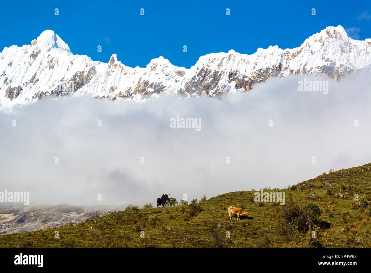Two cows on a ridge with snow capped Andes mountains in the background near Huaraz, Peru - Stock Image