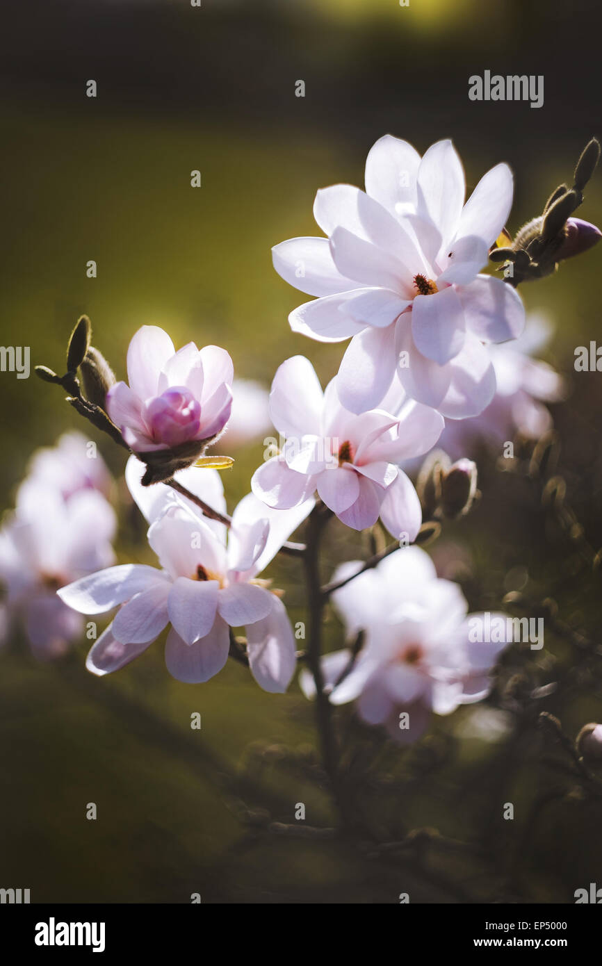 magnolia flower in the park on dark background Stock Photo