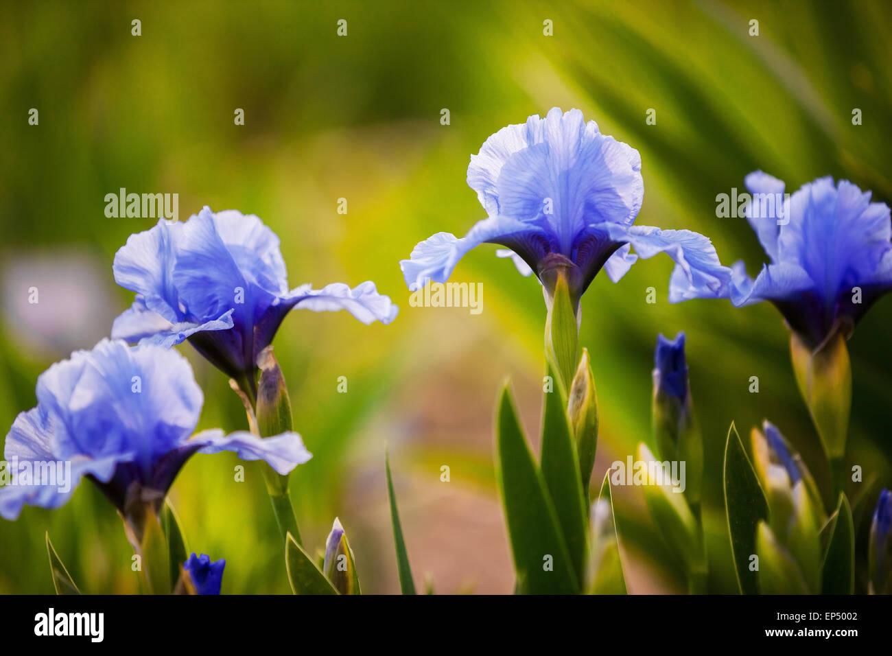 Blue Iris Flowers Growing In Stock Photos Blue Iris Flowers